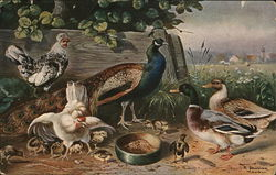 Illustration of Peacock, Ducks, Chickens