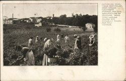 Gathering Roses for the Manufacture of Perfume
