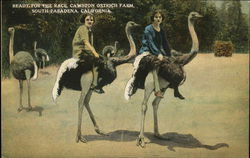 Ready For The Race, Cawston Ostrich Farm, South Pasadena, California Postcard