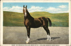 Naski, An Imported Stallion Owned by WK Kellogg Arabian Horse Ranch