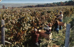 Taylor Wine Company - Harvesting Grapes