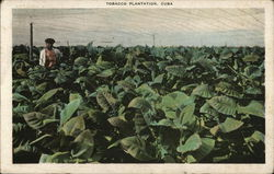 Tending A Tobacco Plantation In Cuba