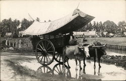 Oxen pulling Cart in Asia