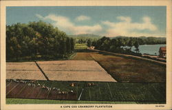 A Cape Cod Cranberry Plantation