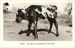 Dolly the 2-Headed Cow