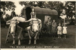 The World's Largest Known White Oxen