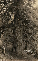 Largest Known Douglas Fir