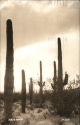 Desert View With Several Saguaro Cacti