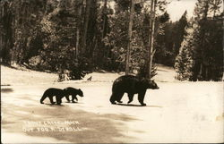 Black Bear With Two Cubs, Out For A Stroll