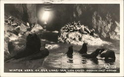 Winter Herd of Sea Lions - Sea Lion Caves Oregon Coast Hwy