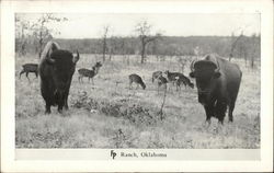 Buffalo on the Frank Phillips Ranch