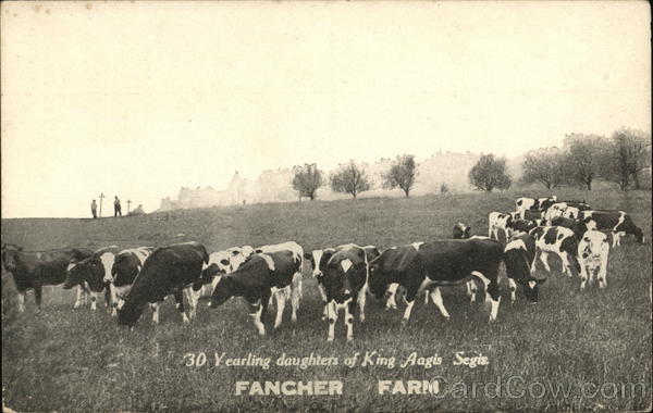 30 Yearling daughters of King Aagis Segis. Fancher Farm