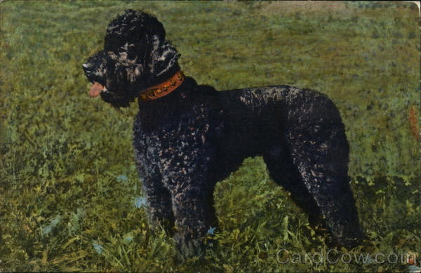 Poodle standing in grass Dogs
