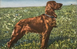 Irish Setter - standing in a field