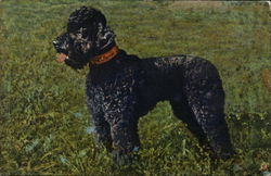 Poodle standing in grass