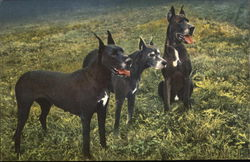 Great Danes in grass