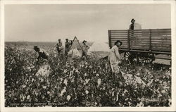 Cotton Picking - Imperial Valley, Calif.