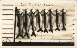 Lake Tarleton Trout