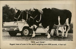 Pete and Punk - Biggest Team of Oxen in the World