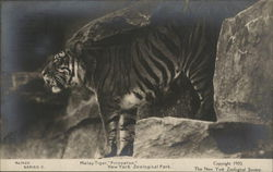 "Malay Tiger, ""Princeton."" New York Zoological Park"