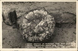 Cross Section of Petrified Tree Postcard