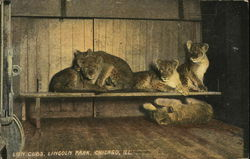 Lion cubs, Lincoln Park