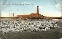 Feeding Pen, Beet Sugar Factory
