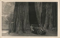 Man and Car Driving through the Giant Sequoyah Tree in Yosemite National Park