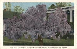 Wisteria Tree in Bloom