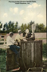 Plucking at the Cawston Ostrich Farm