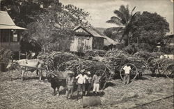 Sugar Cane awaiting Transport to the factory. Caroni, Trinidad. B.W.J.