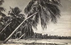Palm-Fringed Bech