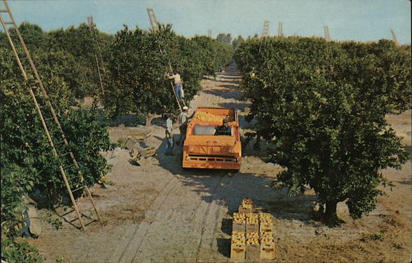 Harvesting Scene in Florida's Orange Groves Farming