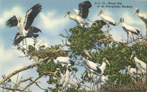 Wood Ibis In An Everglades Rookery Birds