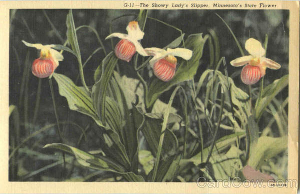 The Showy Lady's Slipper Flowers
