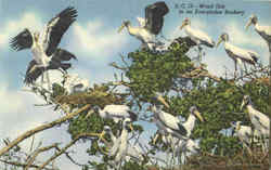 Wood Ibis In An Everglades Rookery