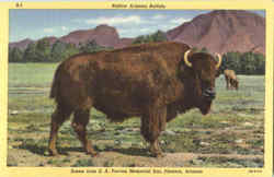 Native Arizona Buffalo, E. A. Tovrea Memorial Zoo