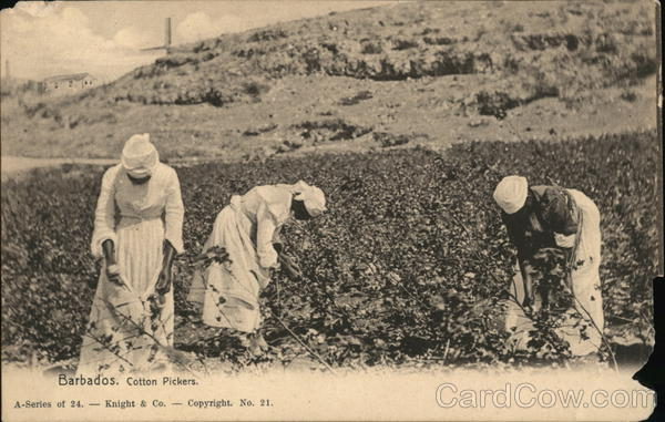 Cotton Pickers Barbados Caribbean Islands