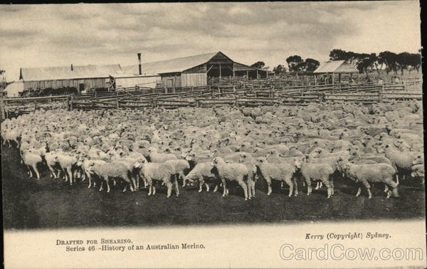 Drafted for Shearing Sydney Australia Sheep