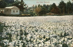 Lily Field