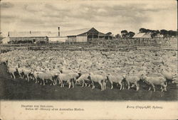 Drafted for Shearing. Series 46- History of an Australian Merlino