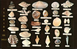Florida Seashell Collection