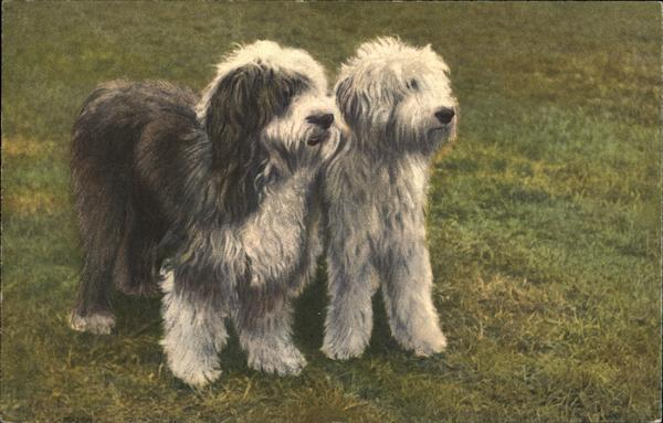 Two English Sheepdogs Standing Side-by-Side
