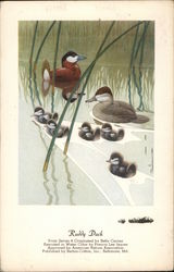 Ruddy Duck From Series Four