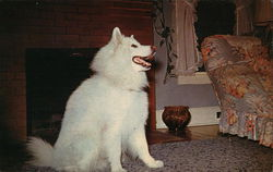 """Sibi"" A Siberian Samoyed from champion Stock."