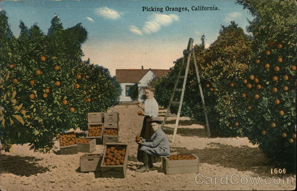 Picking Oranges California