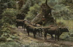 Hauling Wood with Oxen Team in Santa Cruz Mountains