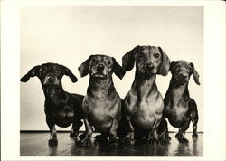 Dachshunds, c.1947 by Ylla
