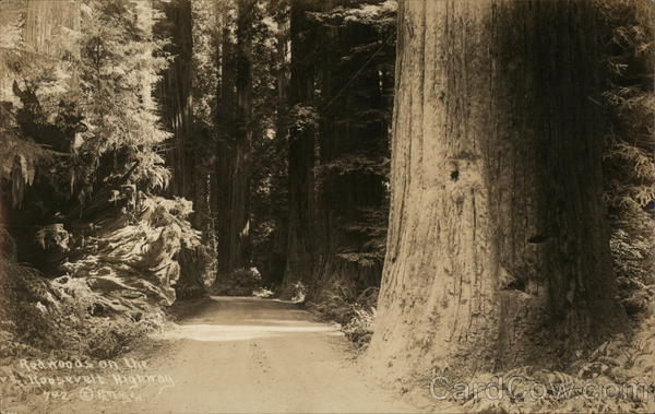 Redwoods on the Roosevelt Highway California