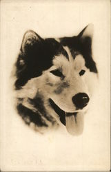 Portrait of Alaskan Sled Dog (Husky?)
